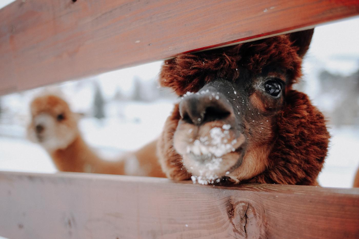 """Nice to know: Das Alpaka Alpakas sind eine südamerikanische, domestizierte Kamelform, die schon seit 3000 v.Chr. vorwiegend wegen ihrer Wolle gezüchtet werden. Ihre nächsten Verwandten sind Guanacos, Vicunjas und Lamas. Wie alle Kamele sind auch Alpakas soziale Herdentiere. Heute gibt es etwa drei Millionen Tiere, vorwiegend in Peru, Bolivien Chile. In Europa werden sie erst seit wenigen Jahren als Hobbytiere gehalten. Für die Inkas jedoch hatten sie eine besondere Bedeutung: Die hochwertige Wolle wurde als das """"Vlies der Götter"""" verehrt, entsprechend groß waren die Herden. Die Eroberung Perus durch die Spanier und ihre mitgebrachten Schafe veränderten jedoch die Zucht. Es bestand kein Interesse daran, die einheimischen Tiere zu erforschen, sodass sich das einstmals göttliche Tier zum Nutztier der armen Bevölkerung entwickelte und zwischenzeitlich sogar fast ausstarb. Erst mit der Unabhängigkeit der Staaten Südamerikas erkannte man erneut den Wert des Alpakas. Seither wird die Wolle in alle Welt exportiert."""